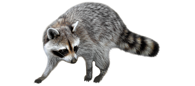 Nassau County Animal Removal - Raccoon, Rodent, Bird Control